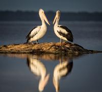 Two Australian pelicans standing on rocks reflecting in water