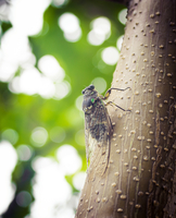 Cicada standing on tree trunk in summer