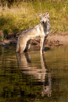 Wolf standing in lake