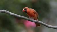 Cardinal perching on tree branch, St. Louis, Missouri, USA
