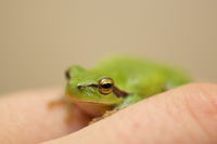 European tree frog (Hyla arborea) perching on hand, Camargue, Arles, Provence-Alpes-Cote d'Azur, France