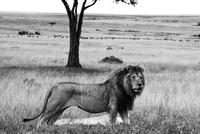 Lions in savannah, Maasai Mara National Reserve, Kenya