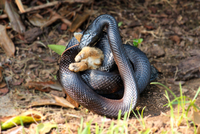 Rat snake eating rabbit, Gastonia, North Carolina, USA