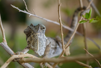 Chameleon on branch 11098058211| 写真素材・ストックフォト・画像・イラスト素材|アマナイメージズ