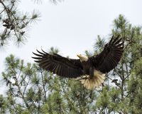 Eagle carrying dead fish