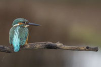 Kingfisher (Alcedo atthis) perching on branch