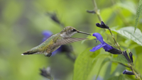 Ruby-throated Hummingbird (Archilochus colubris) hovering by purple salvia flower