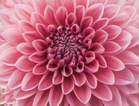 Close-up of pink dahlia flower in bloom