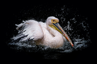 White pelican (Pelecanus) in splashing water