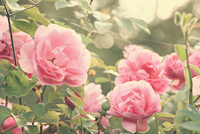 Close-up of pale pink roses in bloom