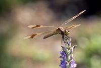 Dragonfly (Anisoptera) on lavender (Lavandula) flower