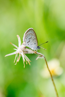 Lesser Grass Blue (Zizina otis) on flower, Mangilao, Guam