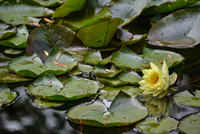 Water lilies (Nymphaeaceae) floating on pond
