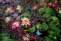 Water lily on pond, Covert Park, Austin, Texas, USA