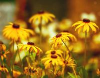 Yellow Coneflowers (Echinacea), Phipps Conservatory and Botanical Gardens, Pennsylvania, USA