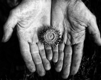 Dry Carduus plant on man's hands