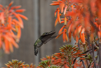 Anna's hummingbird (Sayornis nigricans) flying among aloe flowers