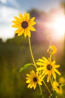 Sunflowers (Helianthus) in bloom