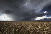 Rain clouds over wheat field