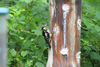 Great spotted woodpecker (Dendrocopos major) perching on tree 11098058987| 写真素材・ストックフォト・画像・イラスト素材|アマナイメージズ