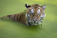 Portrait of tiger (Panthera tigris) in water covered with duckweed, Copenhagen, Denmark