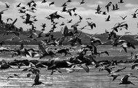 Flock of birds taking off from sea, California, USA