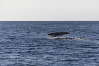 Sperm whale swimming in sea, Sao Miguel, Azores, Portugal