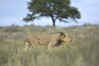 Male lion walking and roaring,terratorial walk.