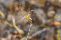 Lib?lula-dragonfly.