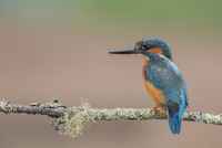 Guarda rios / Kingfisher