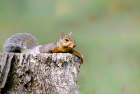 Squirrel in relax