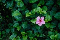 hibiscus 11098059841| 写真素材・ストックフォト・画像・イラスト素材|アマナイメージズ