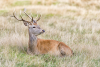 The male red deer known as Stag