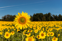 Sunflower Fields of Maryland
