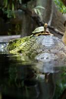 Turtle riding a crocodile
