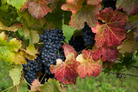 Young Wine