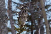 Great Grey Owl21