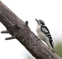 Downy Woodpecker 11098061885| 写真素材・ストックフォト・画像・イラスト素材|アマナイメージズ