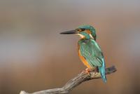 Guarda rios / Kingfisher
