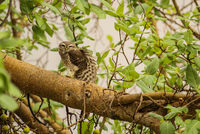 Check me out - Spotted Owlet