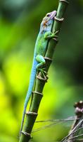 Lizard Reptilia
