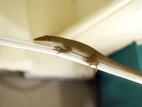 Gecko on Power Cord