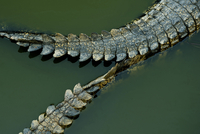 Crocodile tails