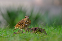 Birds - Scaly thrush