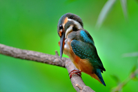 Birds - Kingfisher
