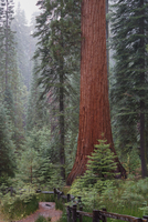 Giant and Baby Sequoia