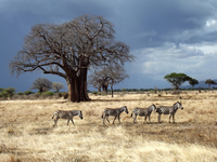 Four Zebra Walking Past a Baobab Tree During a Storm in Tanzania