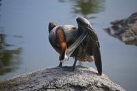 Pel?cano - Pelican