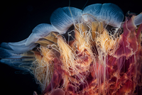 Lions Mane Jelly
