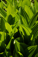False Hellebore